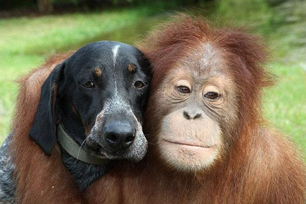 dog-orangutan_1465320i