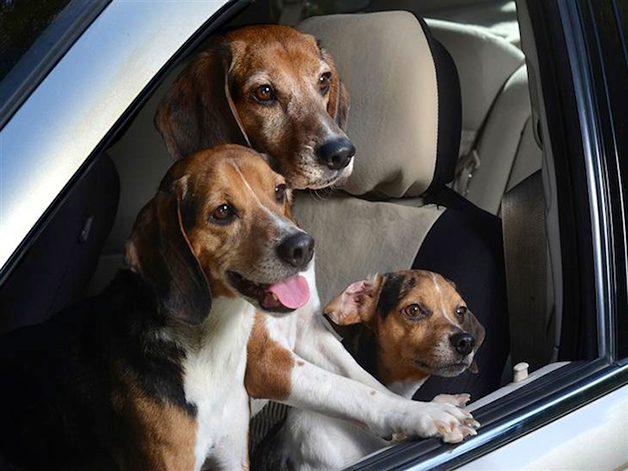 DogsinCars1