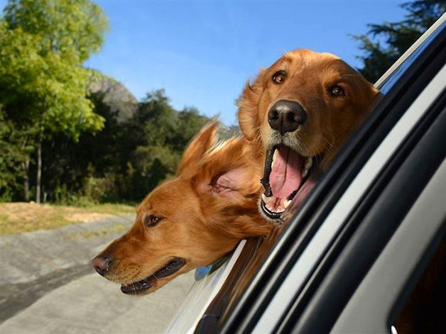 DogsinCars3