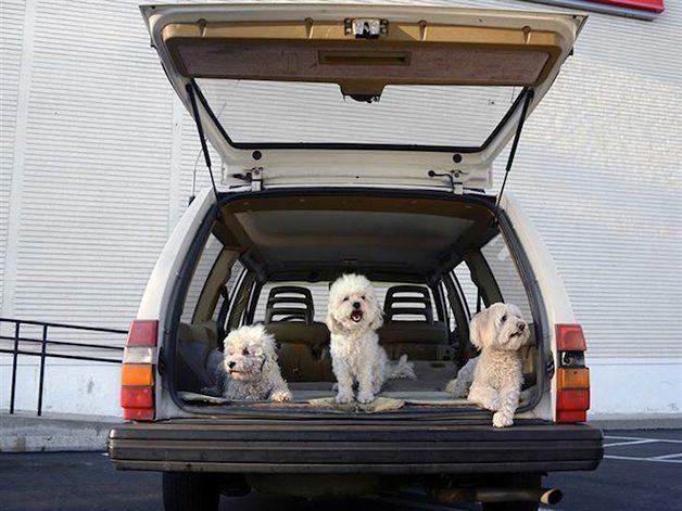 DogsinCars7