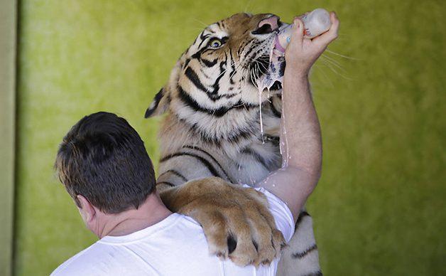 TigerFamily1
