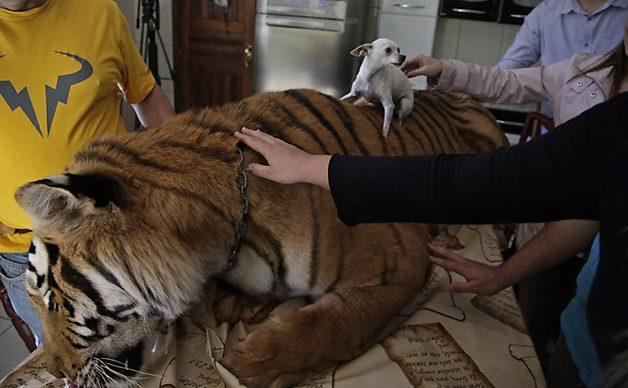 TigerFamily4