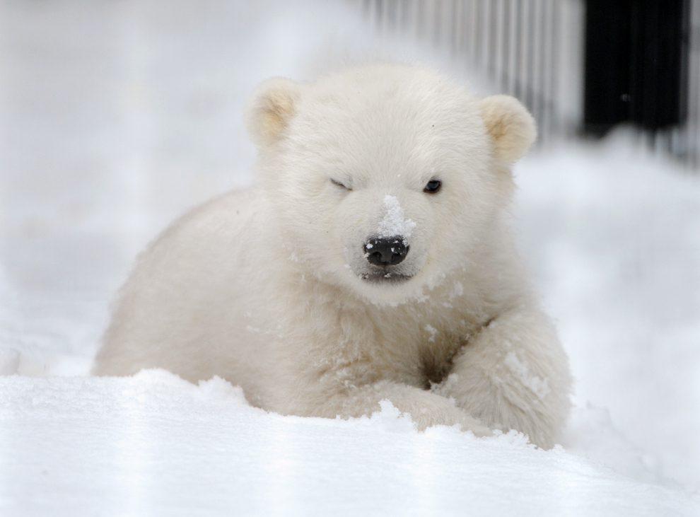 Um urso-polar que ainda não tem certeza se gosta muito de neve.
