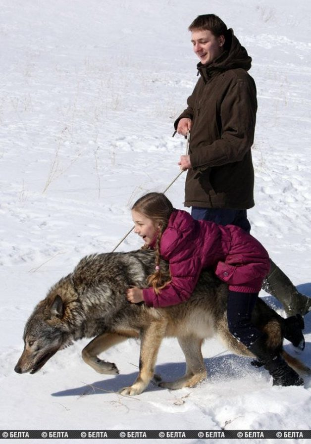 lobo-animal-estimacao2