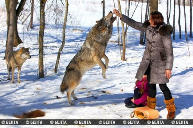 lobo-animal-estimacao3