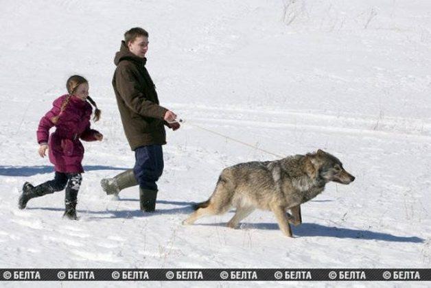 lobo-animal-estimacao5
