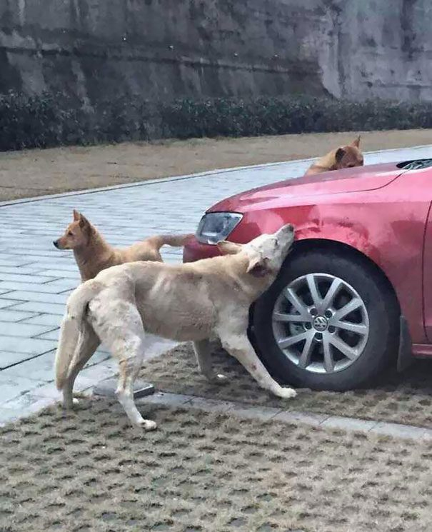 cachorro-gangue-carro-1