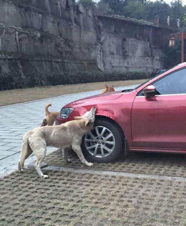 cachorro-gangue-carro-2