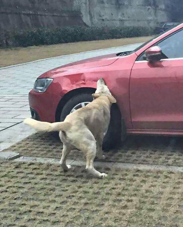 cachorro-gangue-carro-4