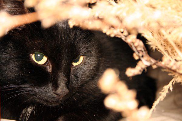 gato preto esconde