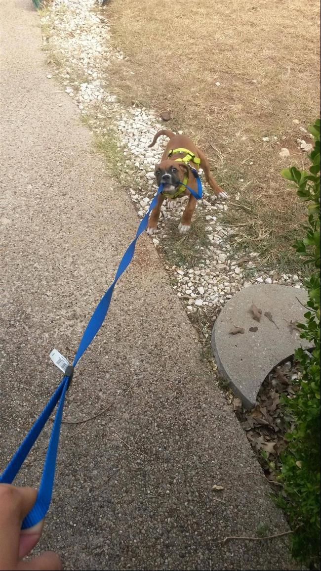cães-que-não-precisam-de-seus-donos-para-passear-3