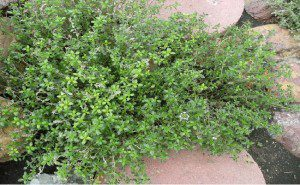 6 belas plantas que repelem3