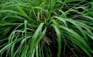 6 belas plantas que repelem5