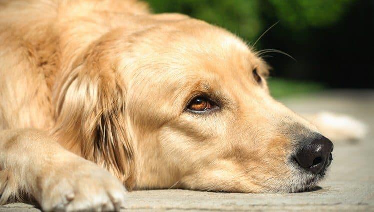 cachorros escutam tudo