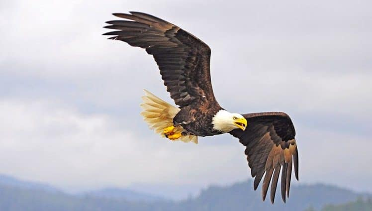 Como as águias