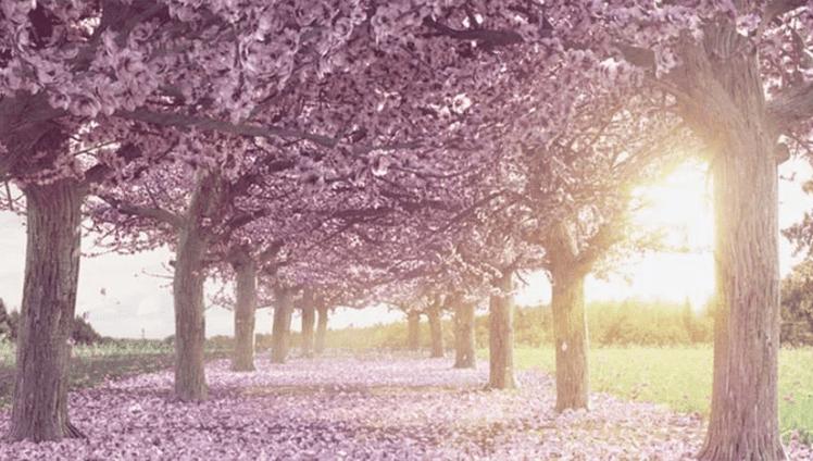 Sakura a lenda japonesa