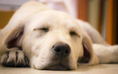 os cães sonham com seus donos
