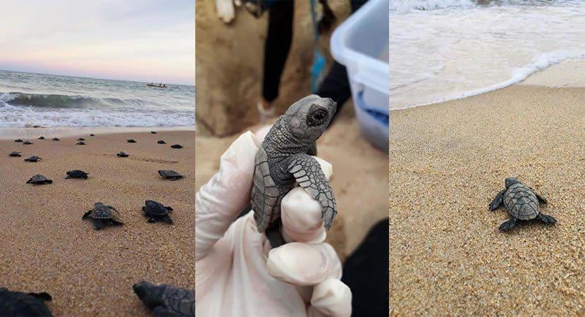 Com praia vazia tartaruguinhas nascem e dão show de fofura a caminho do mar